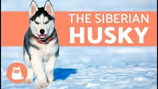 All About the Siberian Husky   History and care