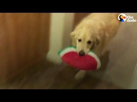 Smart Dog Cleans the House, Puts Her Toys Away | The Dodo