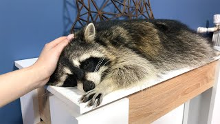 RACCOONS CAN BE VERY CUTE