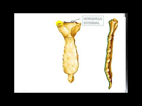 Anatomía del Esternón - YouTube