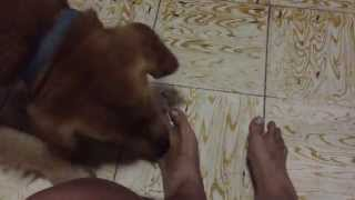 The First Nightly Job Of My Golden Retriever In Dumaguete City