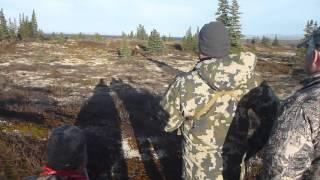 Случайный лось во время охоты на медведя. Полуостров Аляска 2015