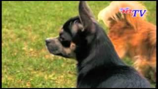 Jumbo Zoo - Chihuahua