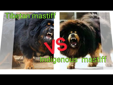 Indigenous mastiff vs Tibetan mastiff Dog Comparison by Dog tubed.