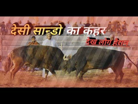 देसी साडो की लड़ाई देखकर सब हैरान ! the amazing indian bull fight