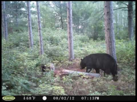 Wisconsin Northwoods Black Bears On The Trail Cam Youtube