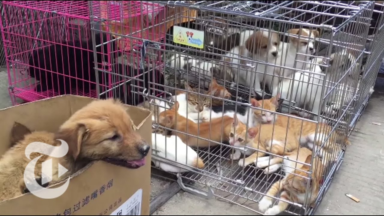 China S Dog Meat Festival The New