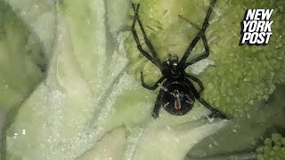Sneaky black widow spider tries to hide in man's broccoli