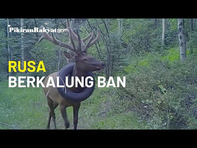 Mirip Buaya di Sulawesi, Kini Rusa Berkalung Ban Mobil di Colorado Tertangkap Kamera Pengintai