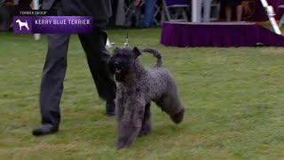 Kerry Blue Terriers | Breed Judging 2021