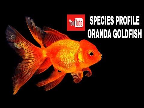 Care Guide For Oranda Goldfish