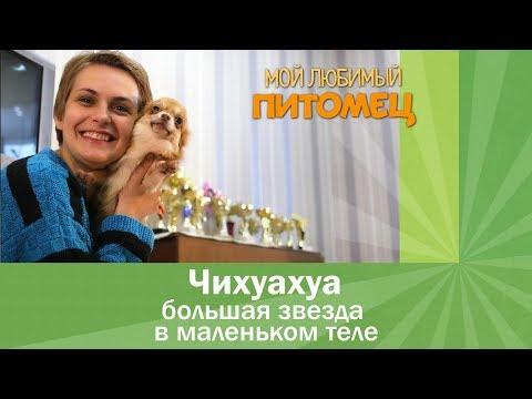 видео: Чихуахуа. Как воспитать собаку