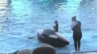 water park seaworld   whale killer attack   whale showing at orlando