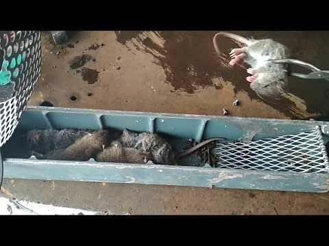 Электро крысоловка своими руками видео