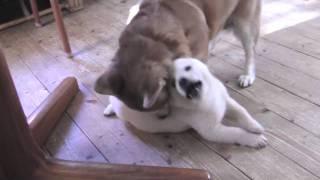 北海道犬ヒビキがまだ幼い頃、我が家はワンコたちの運動場と化していま...
