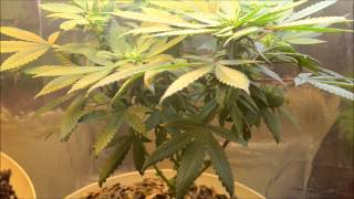 Ep. 12 A Quick Update | Indoor Cfl Cannabis Grow Cabinet Experiment Closet