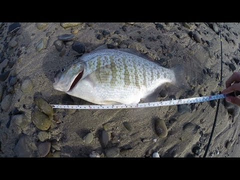 Southern california surf fishing huge barred surfperch for Surf fishing southern california
