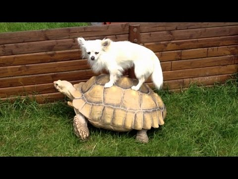 Funny animals riding turtles - Animal compilation