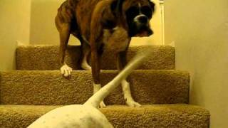 Wannabe Guard Dog Barking Boxers