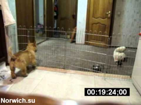 Norwich Terrier - Jailbreak (Hidden Cam)