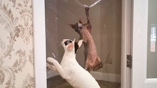 Cats vs Invisible Wall #2