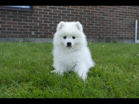 Molly Japansk spets 10 veckor - japanese spitz 10 weeks - Part 4