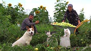 Собрали Урожай Зеленых Помидоров и Посолили на-Зиму