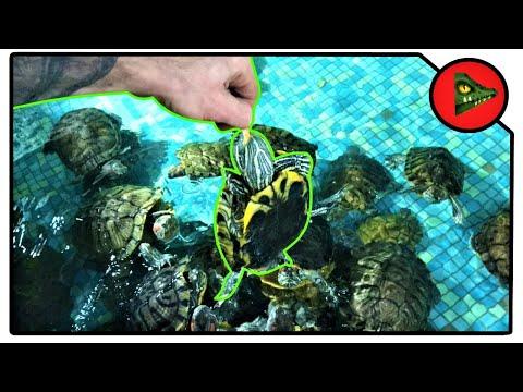 Вопрос: Сможет ли черепаха без посторонней помощи перевернутся со спины на лапы?
