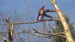 Cutting Down Birch Trees