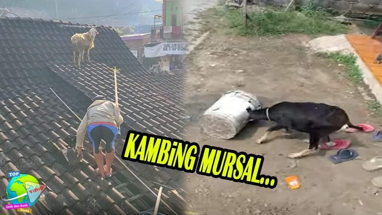 Mau Disembelih, Kambing Kurban Ini Malah Lari Naik ke Atap Rumah Hingga Kepalanya Terjebak di Tong!!