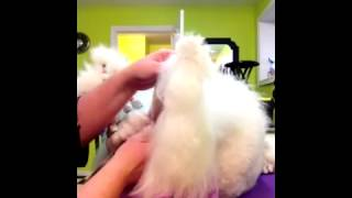 Quick And Easy Ear Banding For Your Show Poodle