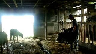 子牛を放牧地に出す練習 2006年9月に撮影.