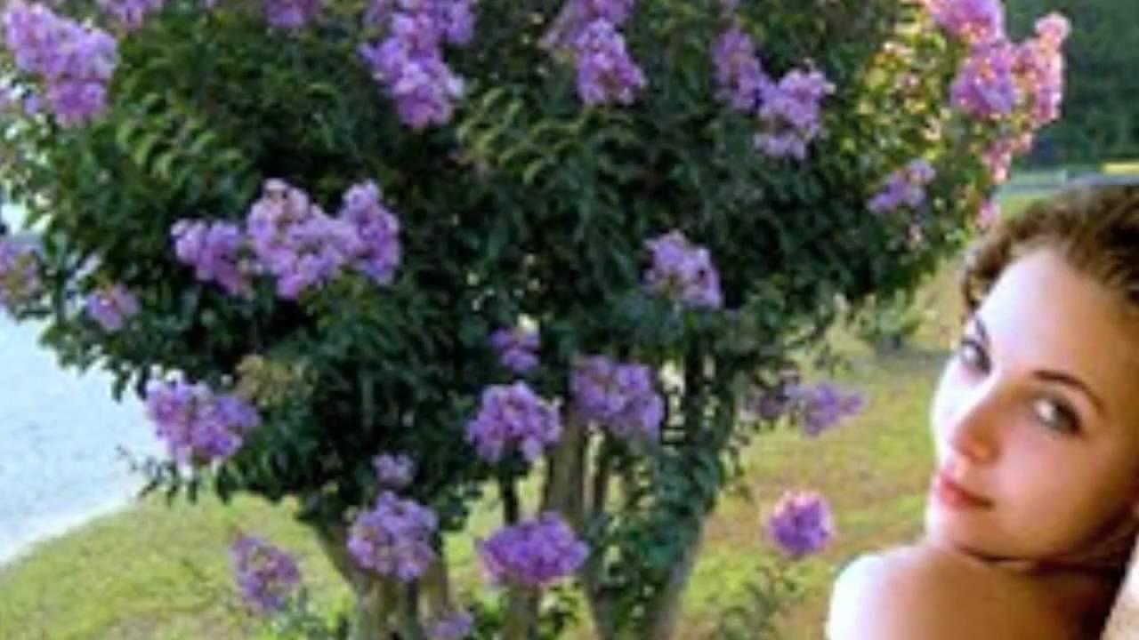 Yuma Crape Myrtle Tree Youtube