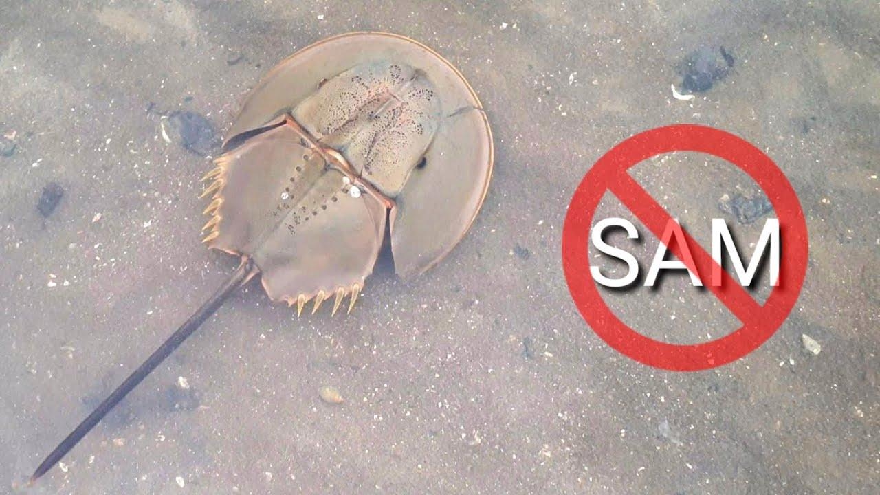 Con so – Rất giống sam nhưng lại độc như cá nóc 😂 (Mangrove horseshoe crab – poisonous species)