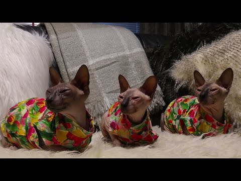 My three wonderful tulips - Sphynx cats, mom and her two daughters / DonSphynx /