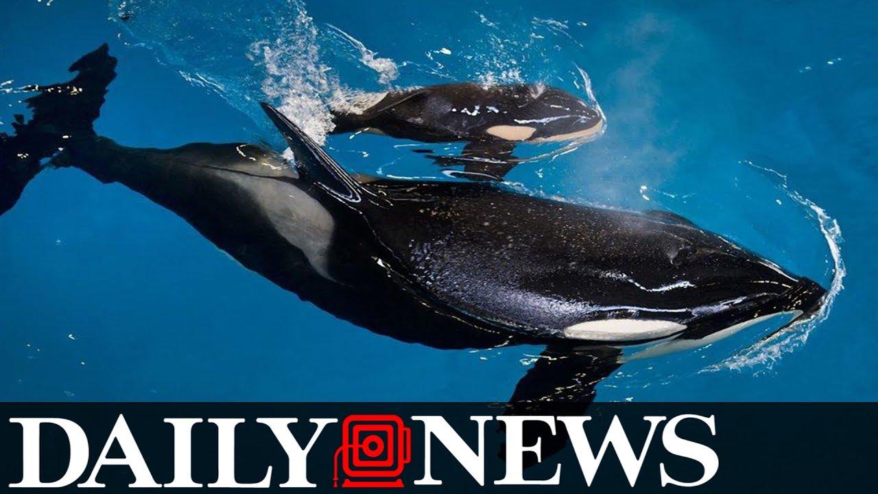 Last killer whale born into SeaWorld captivity dies in a Texas park