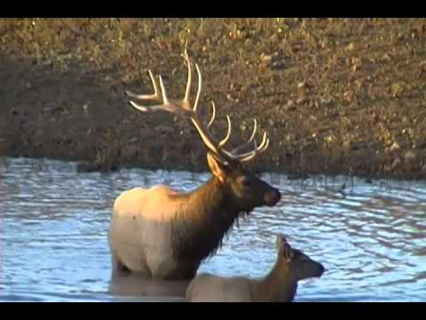 Arizona Bull Elk in Watering Hole