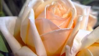 Розовый букет.wmv
