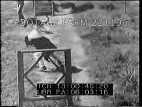 Vietnam Dogs Trained For Sentry And Guard Duty 221196-01 | Footage Farm