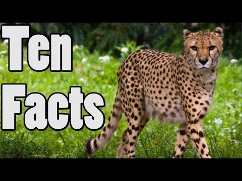 10 Unbelievable Things About Cheetahs - YouTube