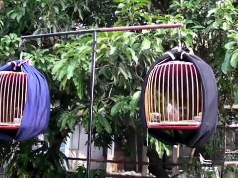 Thai Spotted dove.sambau - YouTube.flv