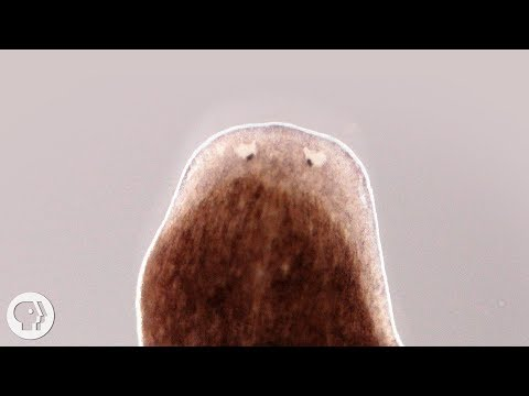Want A Whole New Body? Ask This Flatworm How | Deep Look