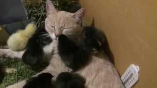 Кошка Алиска с любимыми цыплятами