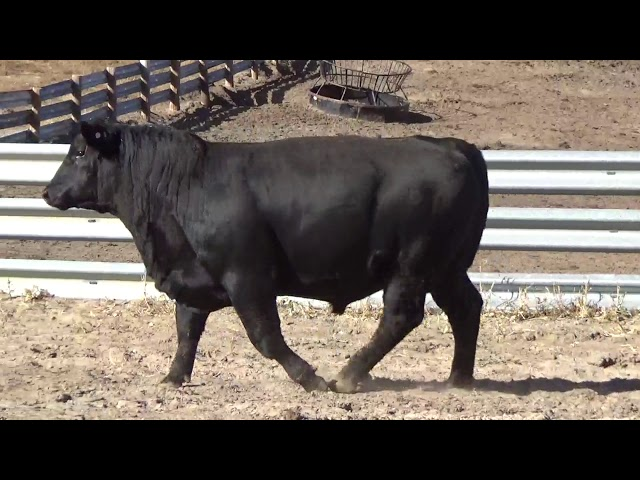 Connealy Angus Lot 120
