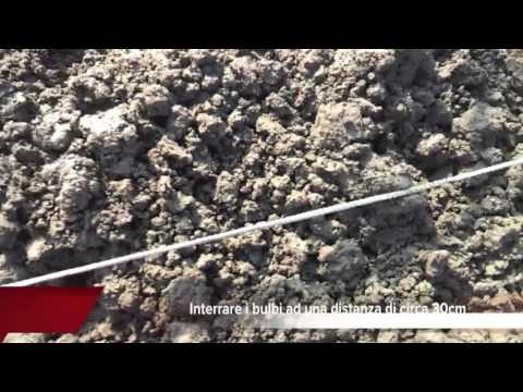 Come coltivare la semina delle cipolle youtube for Semina cipolle