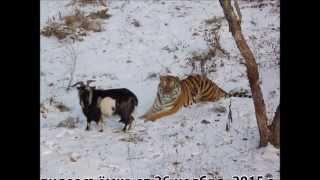 Первые съёмки Амура и Тимура в Приморском Сафари-парке