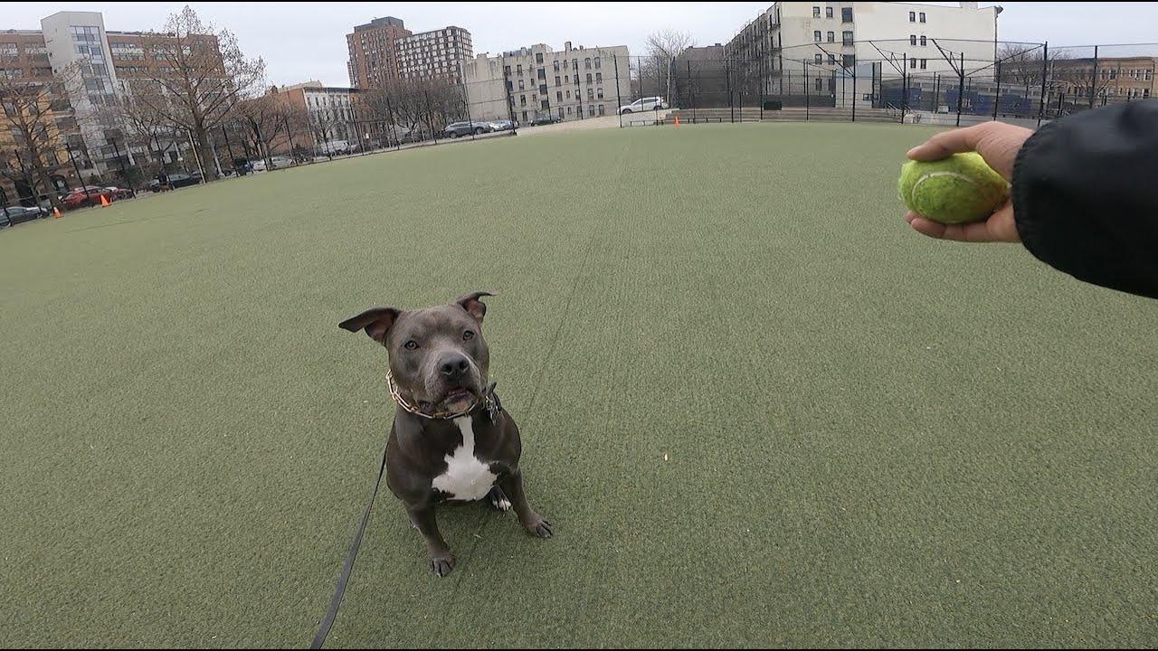 How I exercise my Blue nose Pitbull.
