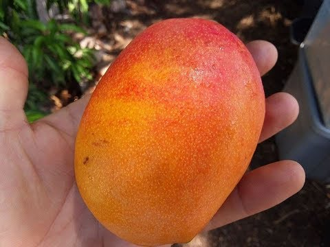 AZ Mango taste test! Southern Blush, Lemon Meringue, Cogshall