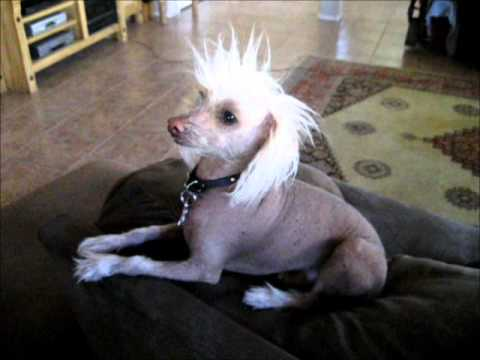 Chinese Crested Hairless.wmv