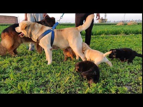 German Shepherd Longcoat Puppy, French Mastiff Puppy, Labrador Puppy, Doggyz World